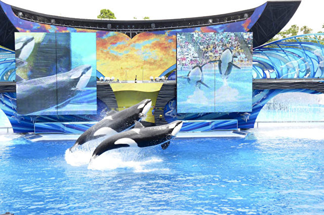 Killerwal-Ballett im SeaWorld-Themenpark.  Foto: Bernd Kregel
