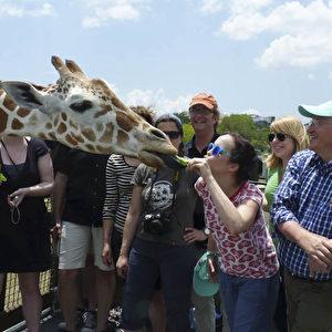 Giraffe in Busch Gardens.  Foto: Bernd Kregel
