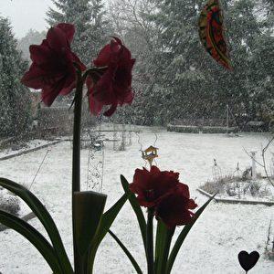 Schnee-Ereignis beim Blumen-Fotografieren.  Foto: SFR