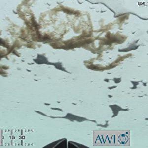 Bei einem Tauchgang hat der Untereis-Roboter namens Ronia der Meereisphysiker dieses Bild von Algen aufgenommen. Unter dem Eis können Kieselalgen meterlange Ketten bilden – im Sommer 2012 konnten die Forscher dies erstmals auch bei einjährigem Eis nachweisen. Foto: ROV Ronia, Meereisphysik, Alfred-Wegener-Institut