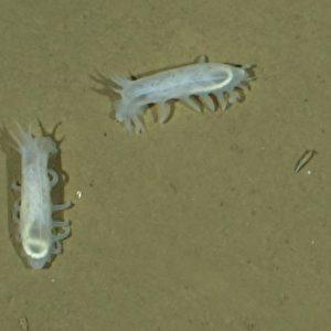 Ein bis zwei Individuen von Seegurken pro Quadratmeter sind für Tiefseeforscher eine hohe Dichte. Die Tiere ernähren sich von Material, das Algen an der Wasseroberfläche bilden und das dann mehrere Tausend Meter nach unten sinkt. Foto: OFOS, Alfred-Wegener-Institut
