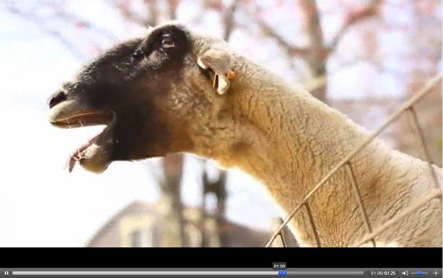 Ziegen brüllen wie Menschen? Manchmal.  Foto: Screenshot aus Video/sfr/Epoch Times Deutschland