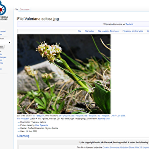 Echter Speick: Valeriana celtica.  Foto: Screenshot aus Wikimedia Commons am 26.02.2013 GNU/ SFR / Epoch Times Deutschland