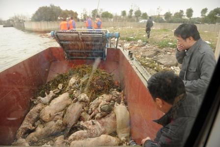 China: Geheimnis um tote Schweine im Fluss von Shanghai gelüftet