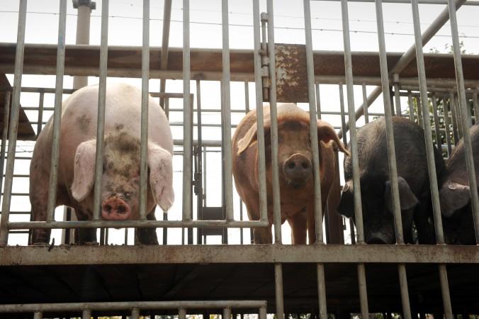 Chinas Viehwirtschaft produziert gefährliche Antibiotikaresistenz