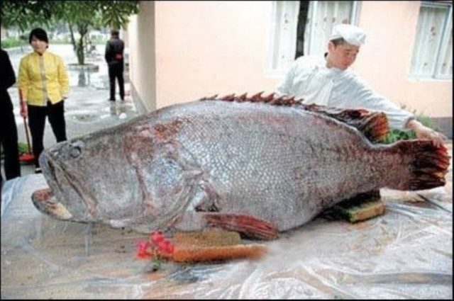 Der dickste barsch der welt in chinas s dsee gefangen for Fisch barsch
