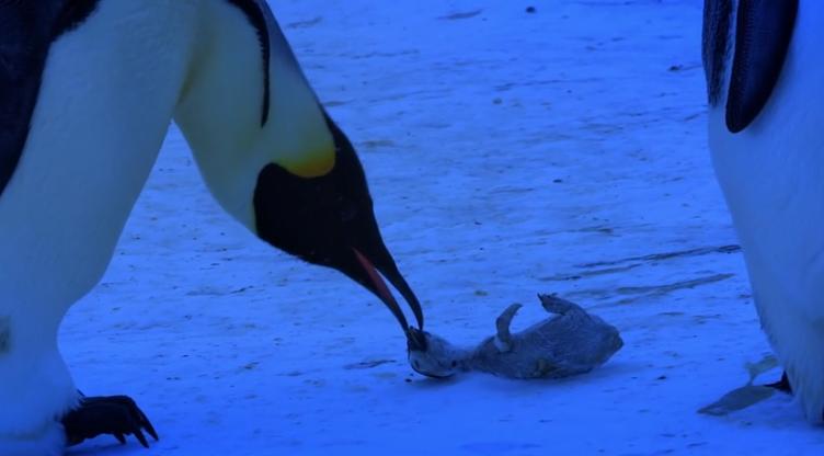 Herzergreifend: Die Trauer einer Pinguin Mutter (+ Video)