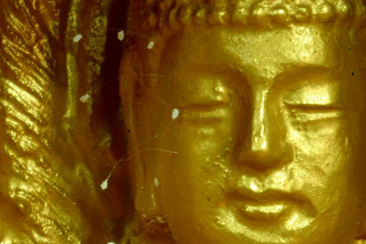 Die Udumbara blüht nach 3000 Jahren wieder in der Welt (+Video)
