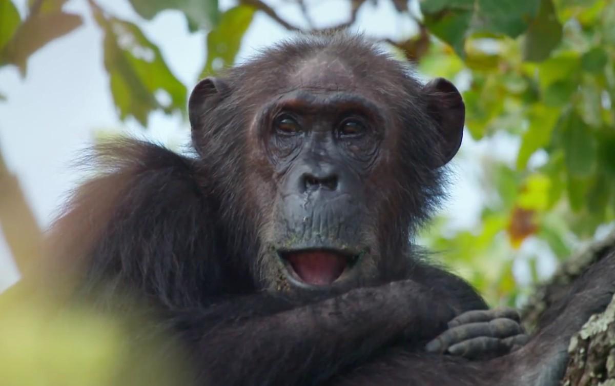 Google Streetview filmt Schimpansen im Gombe Nationalpark