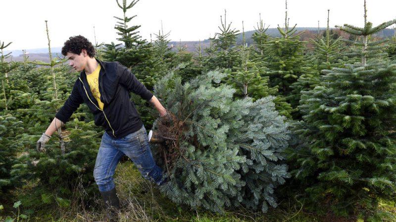 Wo Tannenbaum Kaufen.Weihnachtsbaum Kaufen Schon 1938 War Das Der Reinste Stress