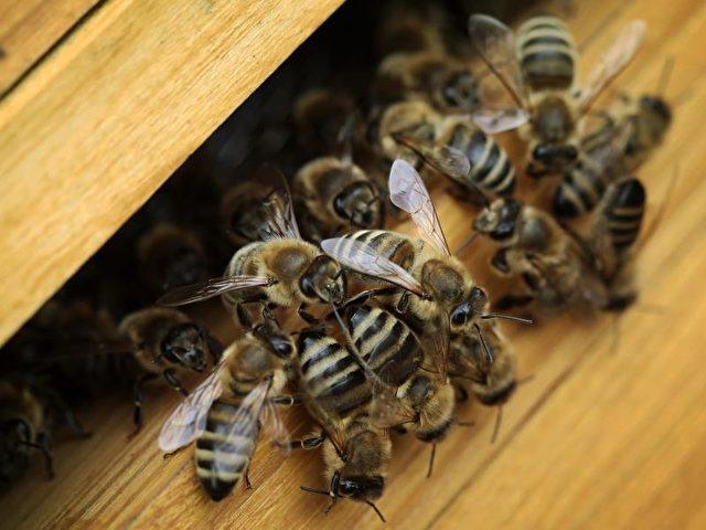 Bienenvolk im Stock. Foto: Fredrik von Erichsen/dpa