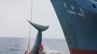 """Zu """"wissenschaftlichen Zwecken"""": Japans Walfänger töten erneut trächtige Wale"""
