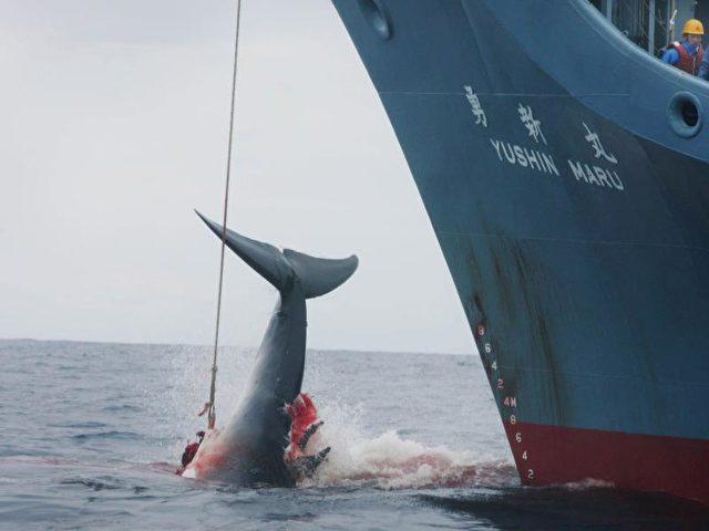 Japanische Walfänger wollen im Pazifik bis Ende Mai 51 Zwergwale fangen - zu vorgeblich wissenschaftlichen Zwecken. Foto: Jeremy Sutton-Hibbert/Archiv/dpa