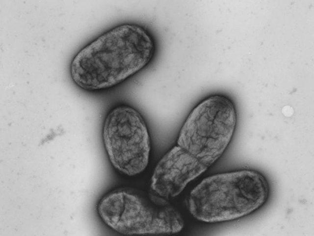 """Pest-Bakterium """"Yersinia pestis"""""""