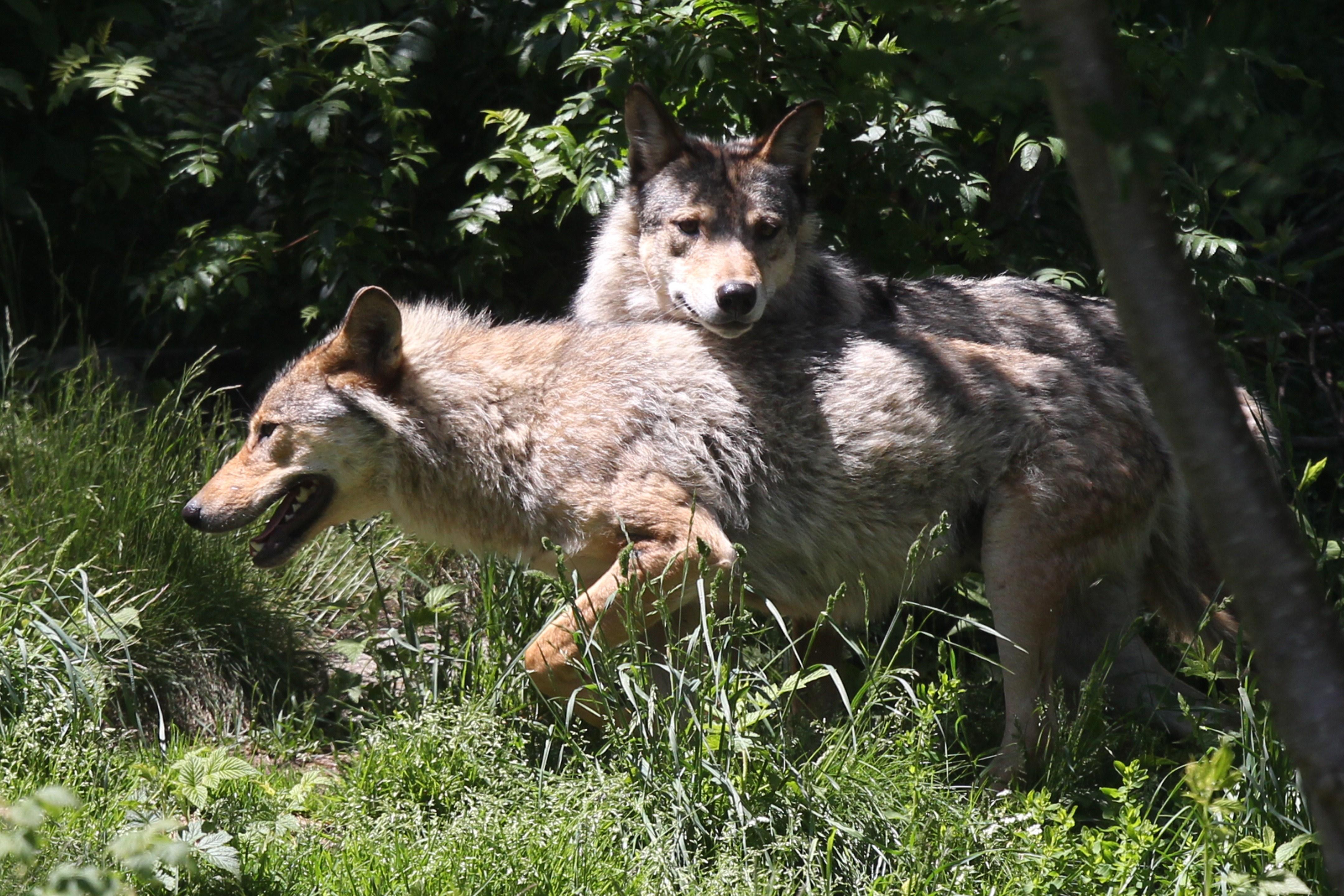 Umwelt: Etwa 350 Wölfe streifen durch Deutschland