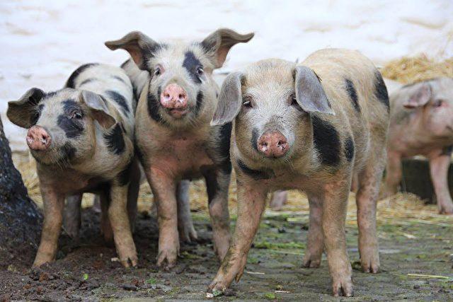 Bentheimer Schweine