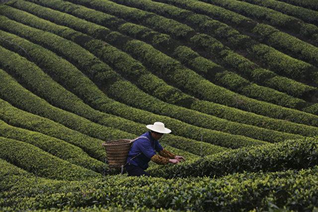 Ein Farmer erntet Teeblätter in der Gemeinde Chongqing in China. Die Hauptsaison für die Teeernte fällt auf Ende März, bei der die Teefabriken mit voller Kapazität arbeiten müssen. (China Photos/Stringer/Getty Images)