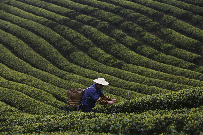 Die lange Geschichte des Grünen Tees