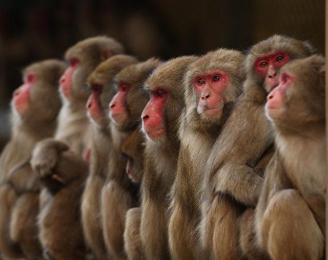 Makaken-Affen entwickeln Autismus nach Impfungen Foto: Buddhika Weerasinghe/Getty Images