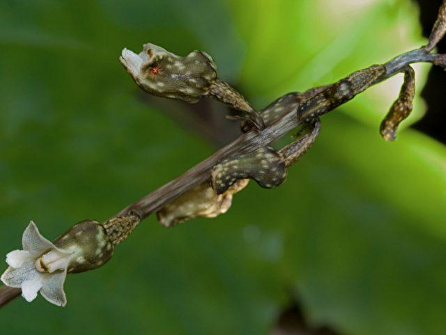 Die südostasiatische Heilpflanze Gastrodia elata.(Phil_NZ/Flickr.com)