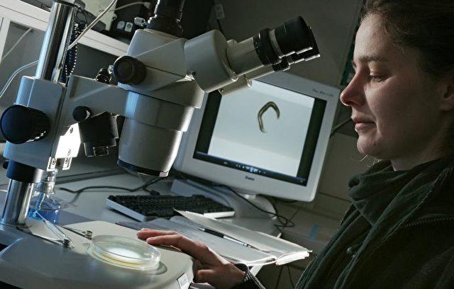 Dr. Kim Zarse von der Uni Jena untersucht Fadenwürmer am Mikroskop.   Foto: Jan-Peter Kasper/FSU