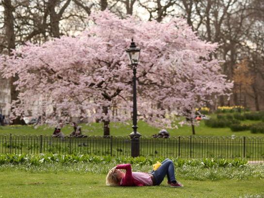 Ein blühender Pflaumenbaum. Der Baum als wohl typischstes Symbol der Verwurzelung mit der Erde kann oft die stärksten Stürme überstehen und hunderte Jahre alt werden. Foto: Oli Scarff/Getty Images