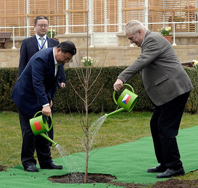 Diesen Baum pflanzten Xi und Zeman gestern am Schloss Lany bei Prag.