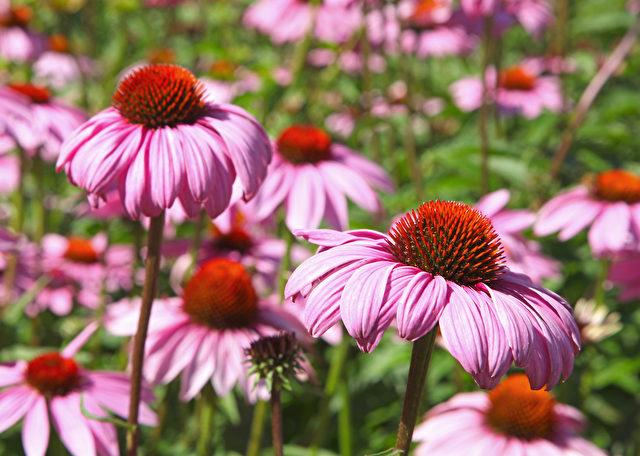 Echinacea wird häufig genutzt, um Erkältungen und Grippe zu behandeln Foto: fotolia.com