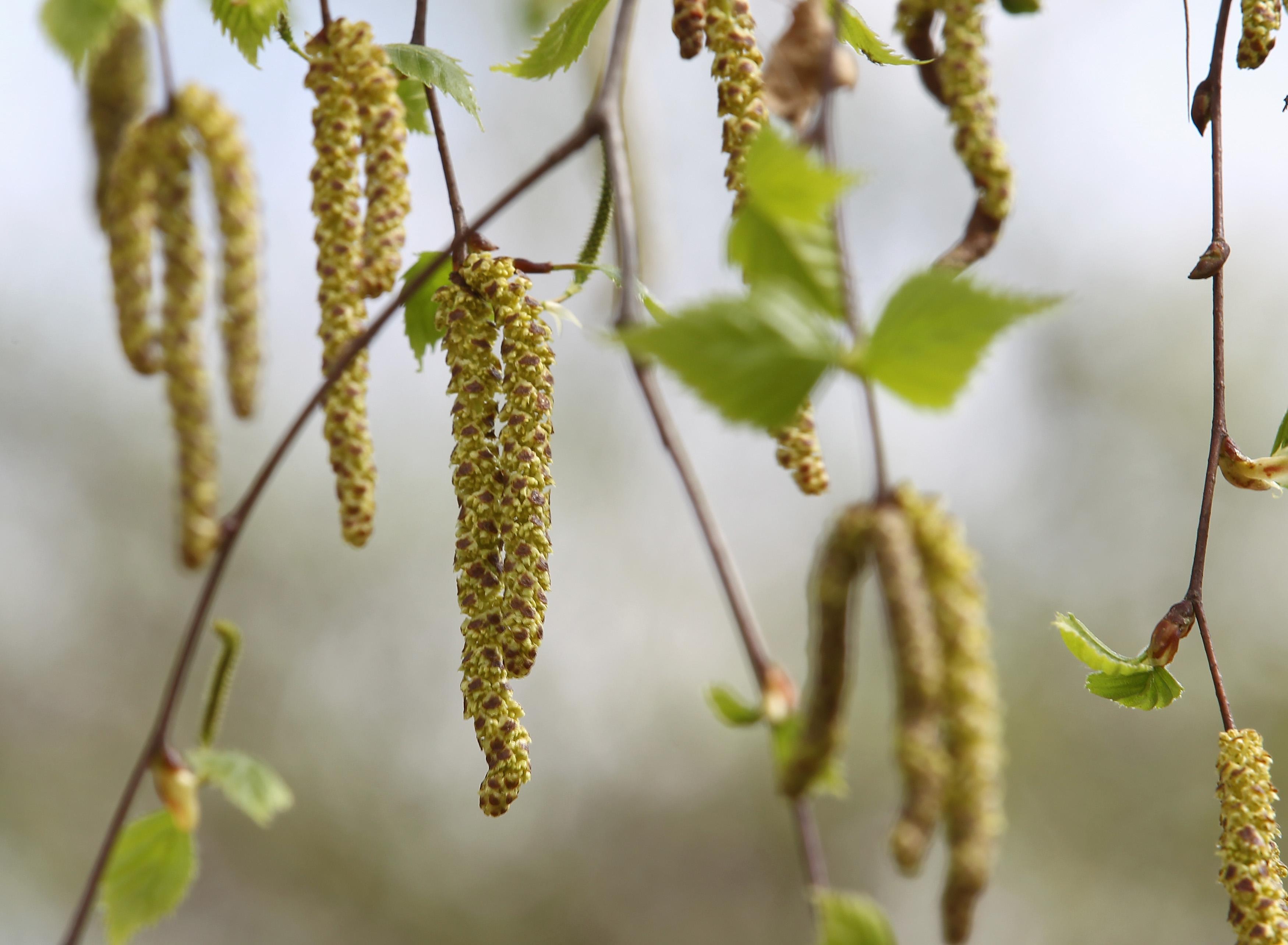 Allergien: Birken, Möhren, Soja, Kern- und Steinfrüchte – der Körper reagiert oft gleich