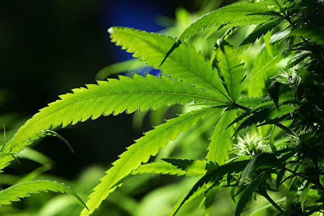Ab 2019 Anbau von medizinischem Cannabis in Deutschland. Foto: Christopher Furlong/Getty Images