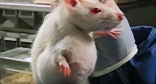 """Diese Ratten bekamen ausschließlich GMO-Mais gefüttert. Wenige Monate später rannten sie mit diesen """"Klößen"""" umher."""