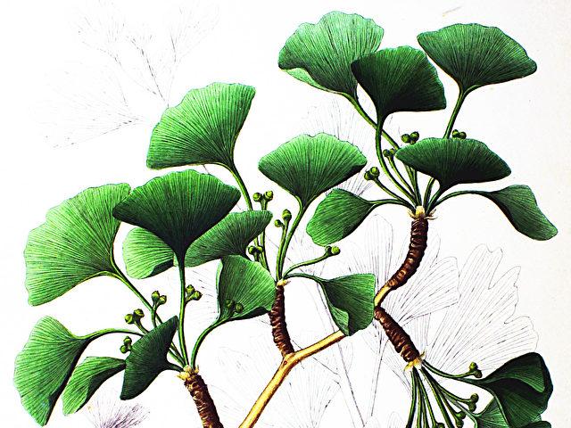 """Ginkgo Biloba, auch Silberpflaume, ist eine als """"lebendes Fossil"""" bekannte Baumart. Foto: Philipp Franz von Siebold and Joseph Gerhard Zuccarini/Flora Japonica"""