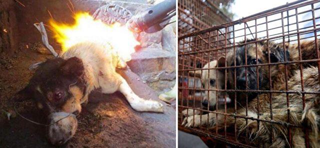 Stopyulin Chinas Hundefleisch Festival 10000 Hunde Brutal