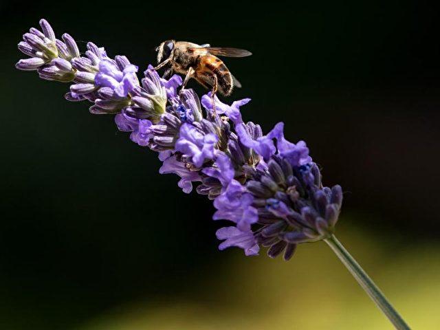 Eine Biene auf einer Lavendelblüte. Das Wetter pendelt sich bei einemMix aus Sonne undRegen ein. Foto: Sven Hoppe/dpa