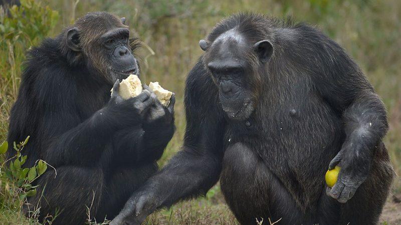 Schimpansen Foto: TONY KARUMBA/AFP/Getty Images