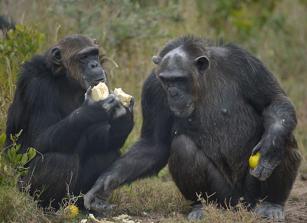 Linda und das liebevolle Herz der Schimpansen – Ein wunderbares Wiedersehen