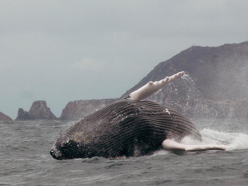 Schiffslärm stört Buckelwale bei der Nahrungssuche