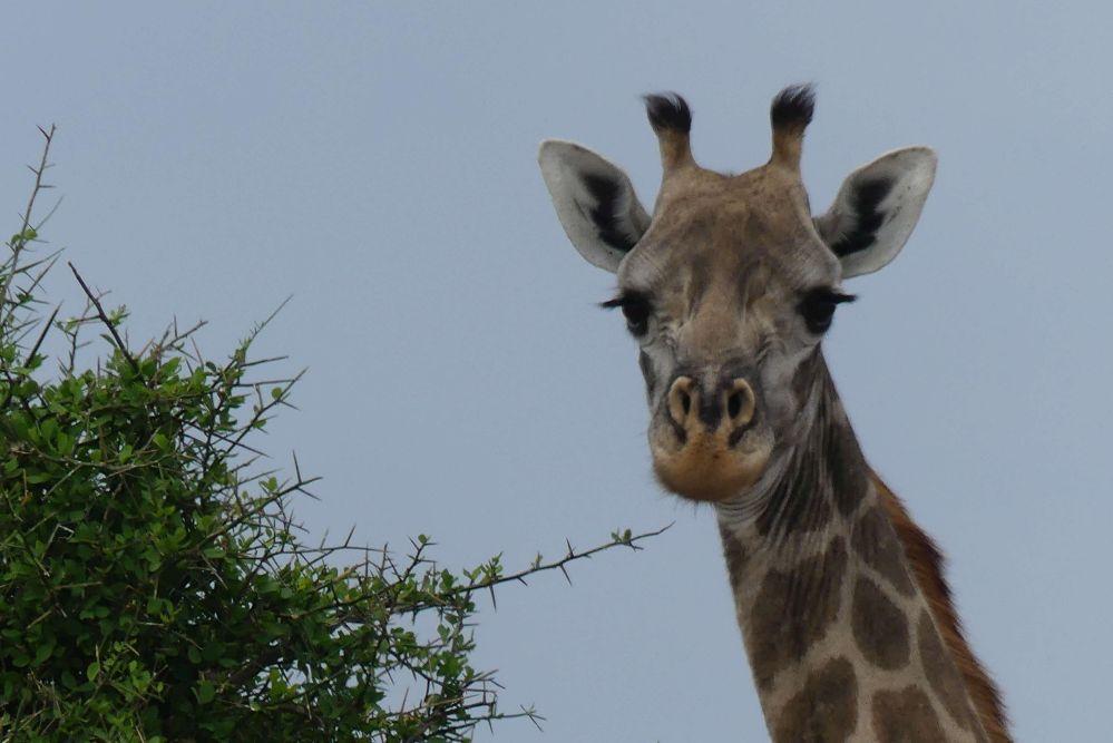 Giraffe im Selous-Wildreservat Foto: Bernd Kregel