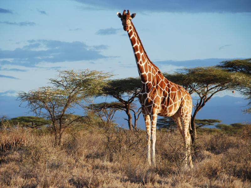 Aus 1 mach 4: Giraffen artenreicher als angenommen