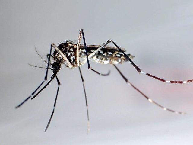 Der Moskito «Aedes aegypti» oder auch «Stegomyia aegypti». Foto: Gustavo Amador/Archiv/dpa