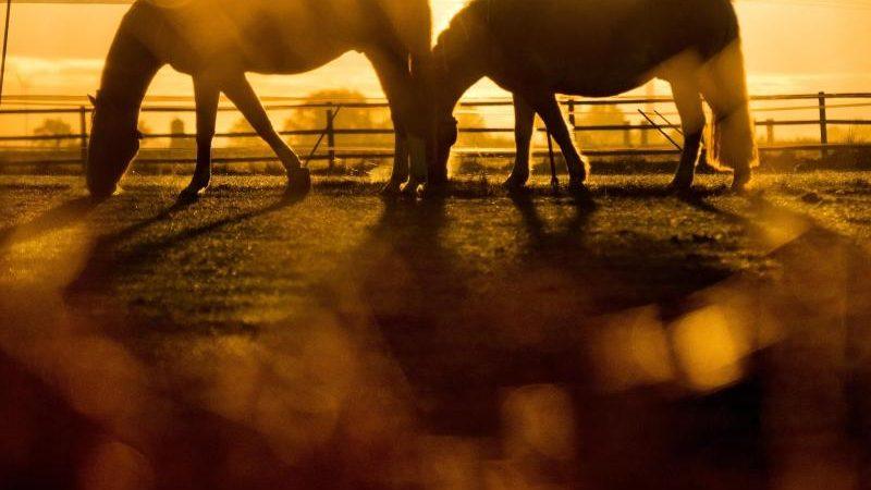 Lassen es ruhig angehen: Zwei Pferde grasen im Licht der aufgehenden Sonne auf einer Koppel bei Sehnde in Niedersachsen. Foto: Julian Stratenschulte/dpa