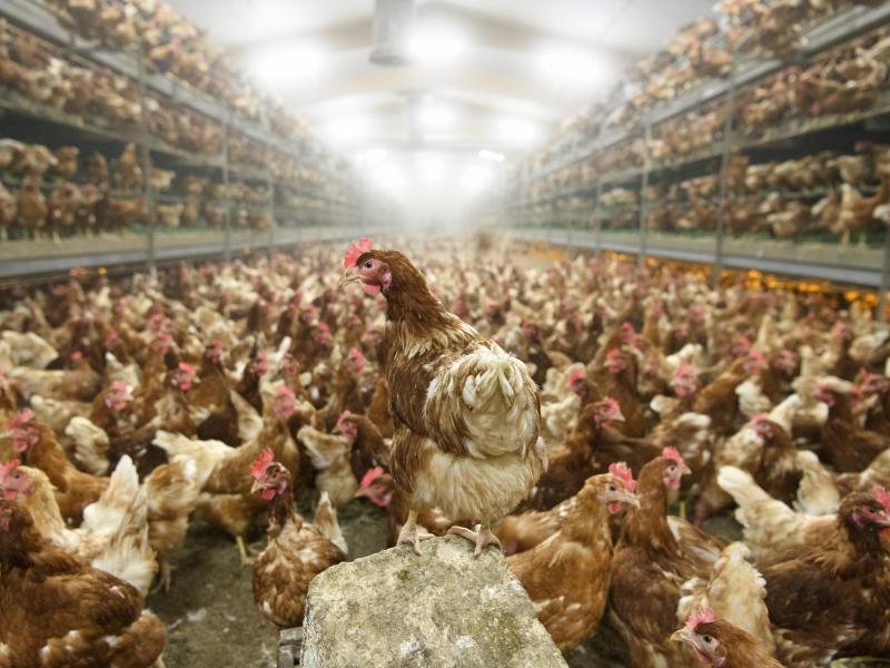 Bundesweit bislang 1,4 Millionen Tiere wegen Vogelgrippe getötet