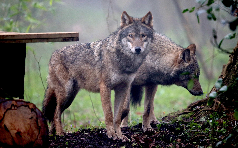 Krisenstab eingerichtet: Wolfsrudel aus Gehege im Bayerischen Wald ausgebrochen