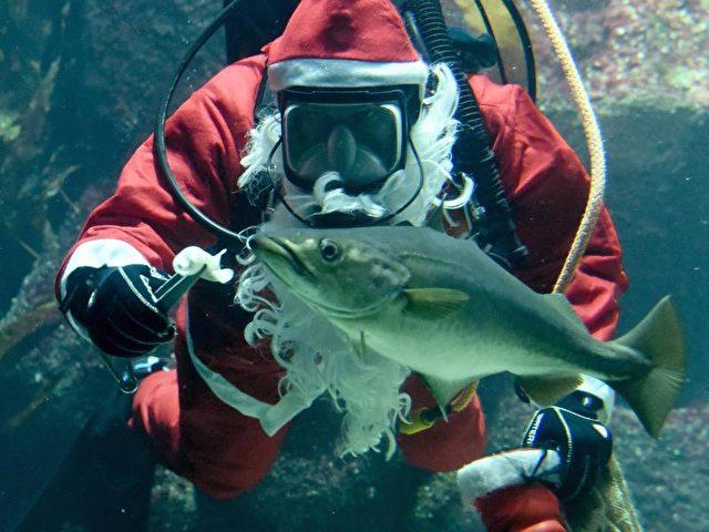 Bescherung unter Wasser: In einem Aquarium im schleswig-holsteinischen Tönning füttert ein Taucher im Nikolauskostüm einen Wolfsbarsch. Foto: Carsten Rehder/dpa