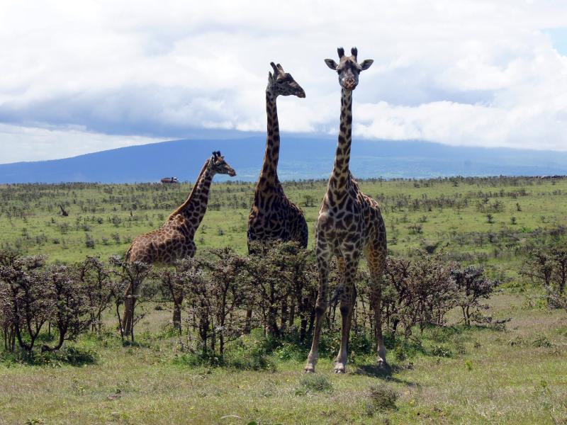 Löwen, Giraffen und Schimpansen stehen künftig unter verstärktem Schutz