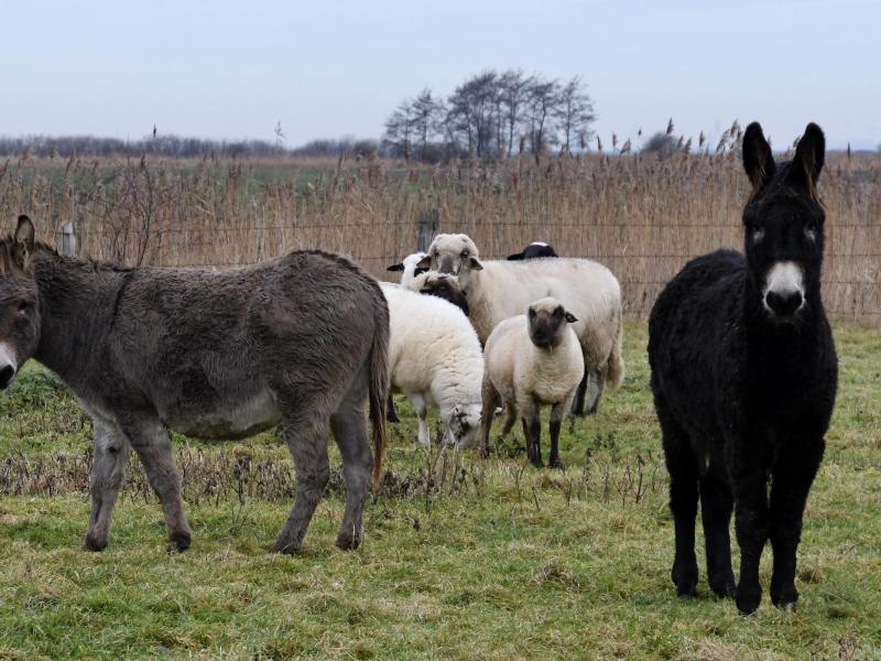 Esel sollen Schafe vor Wölfen schützen