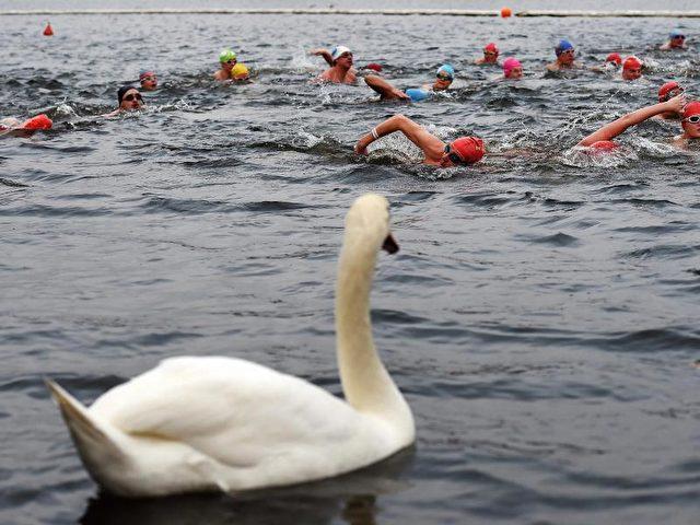 Da staunt sogar der Schwan! Schwimmer während des traditionellen «Peter Pan Cups» im Londoner Serpentine See. Übrigens: Die Temperatur des Wassers beträgt minus 4 Grad Celcius. Foto: Andy Rain/dpa