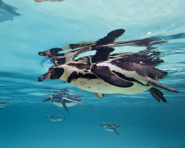 Pinguine Foto: San Diego via Getty Images