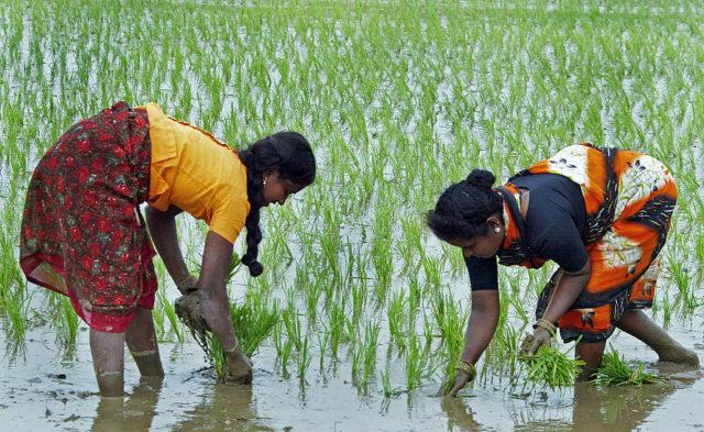 """Indiens """"Reisrevolution"""", oder: Genmanipulierte Lebensmittel müssen nicht sein. Foto: NOAH SEELAM/AFP/Getty Images"""