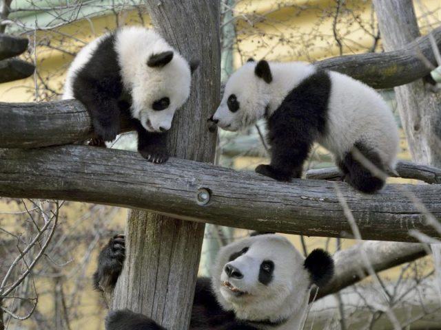 Panda Eigenschaften
